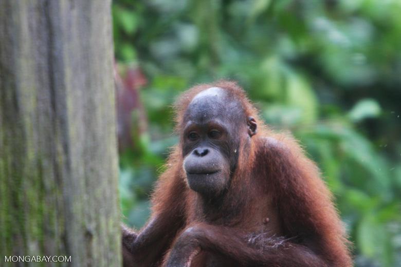 Orangutan at Sepilok -- borneo_5310