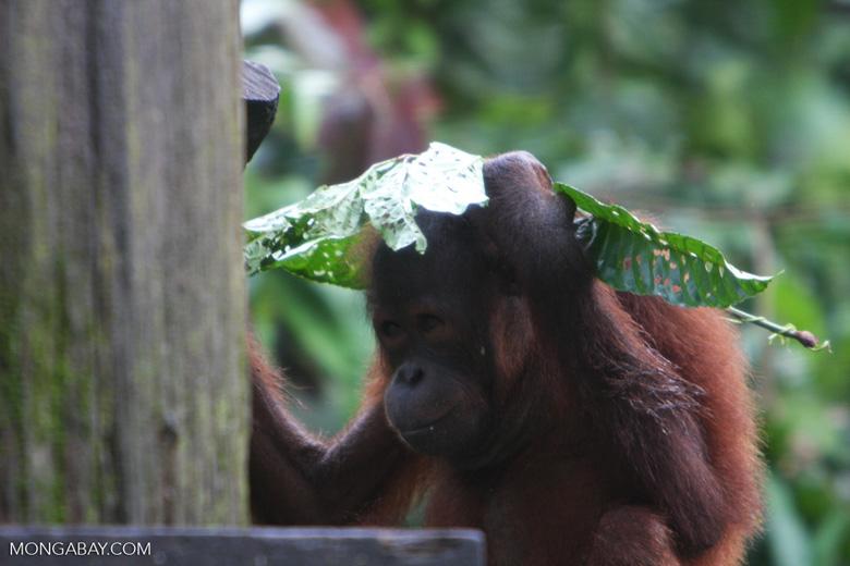 Orangutan with a leaf umbrella -- borneo_5314