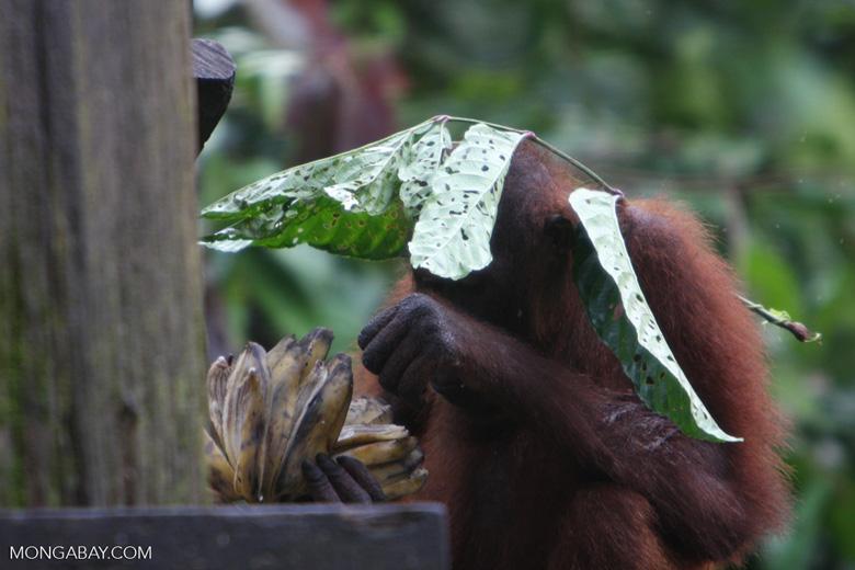 Orangutan with a leaf umbrella