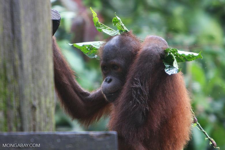 Orphaned orangutan at Sepilok -- borneo_5344