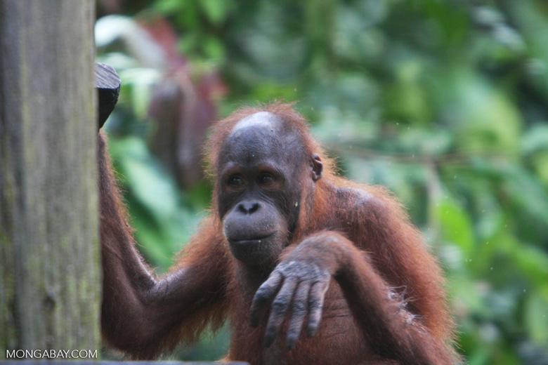 Orphaned orangutan at Sepilok -- borneo_5350