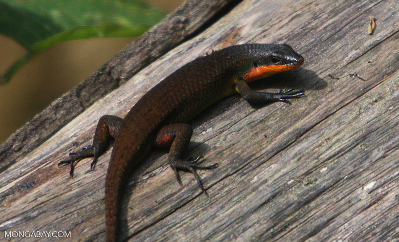 Brown skink with an orange throat