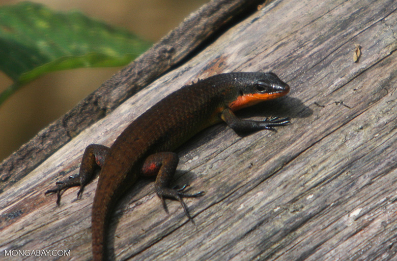 Dark brown forest skink with an orange throat and belly
