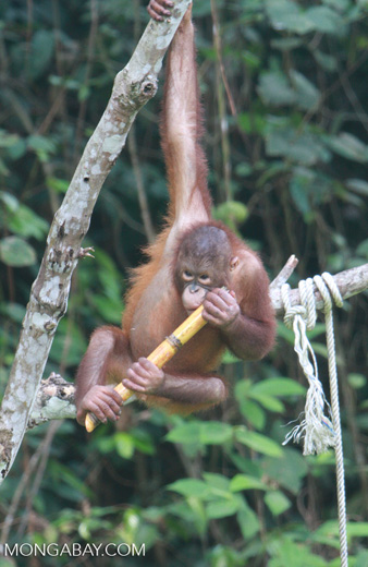 Orphaned orangutan playing with a stick of sugar cane at Sepilok -- borneo_5364