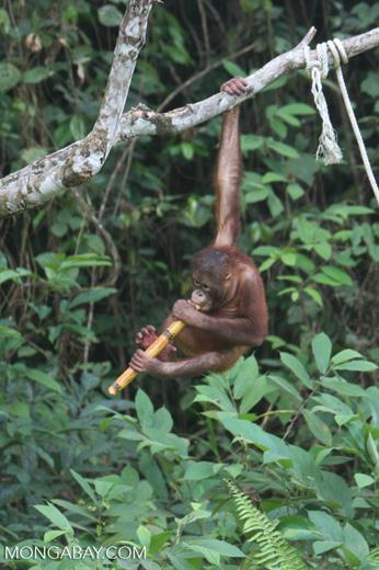 Orphaned orangutan chewing on sugar cane at Sepilok -- borneo_5375