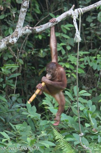 Orphaned orangutan chewing on sugar cane at Sepilok