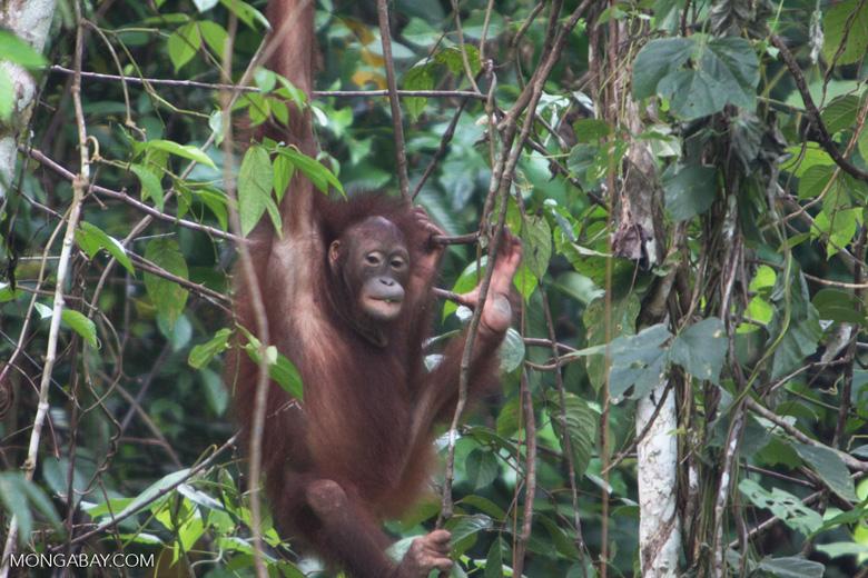 Orangutan at Sepilok -- borneo_5383