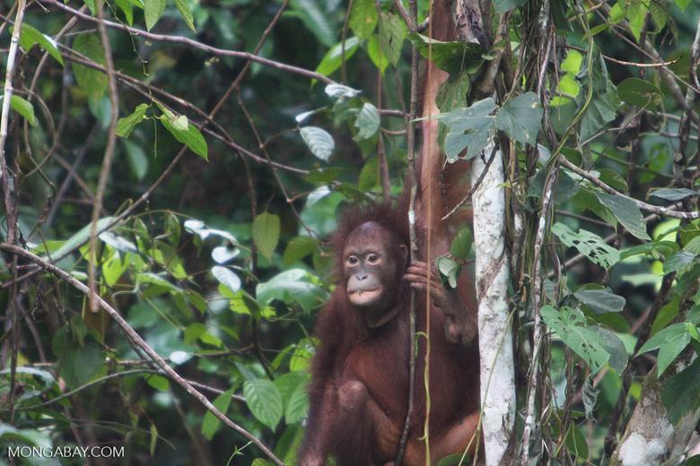 Orangutan at Sepilok -- borneo_5393