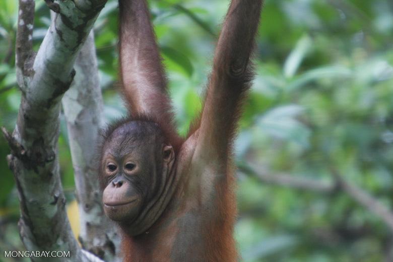 Orangutan at Sepilok -- borneo_5397
