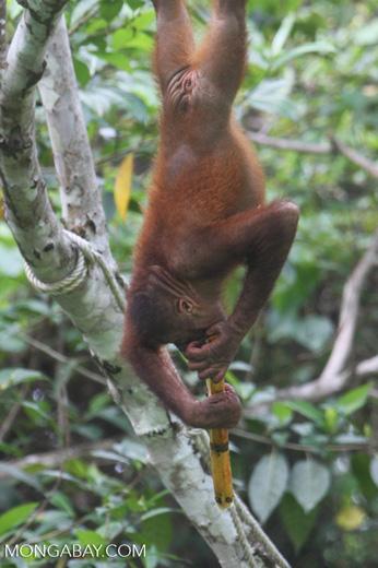 Orangutan hanging by its feet while eating sugar cane