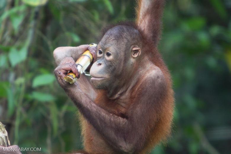 Orangutan at Sepilok -- borneo_5415