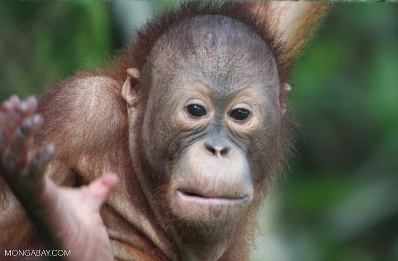 Orangutan at Sepilok -- borneo_5421