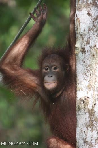 Orangutan at Sepilok -- borneo_5423