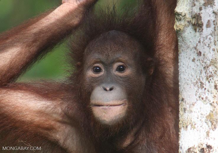 Orangutan at Sepilok -- borneo_5424a