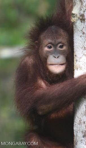 Orphaned orangutan at Sepilok -- borneo_5425