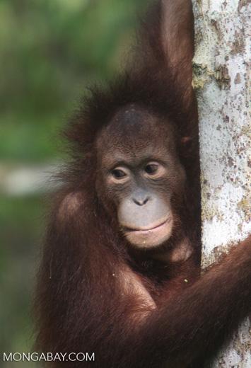 Orphaned orangutan at Sepilok -- borneo_5429