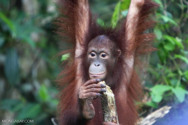 Orphaned orangutan at Sepilok -- borneo_5432