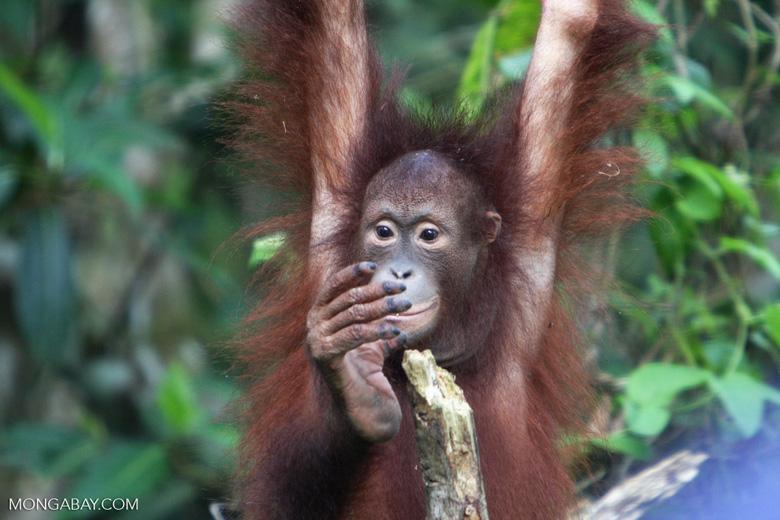 Orphaned orangutan at Sepilok -- borneo_5433