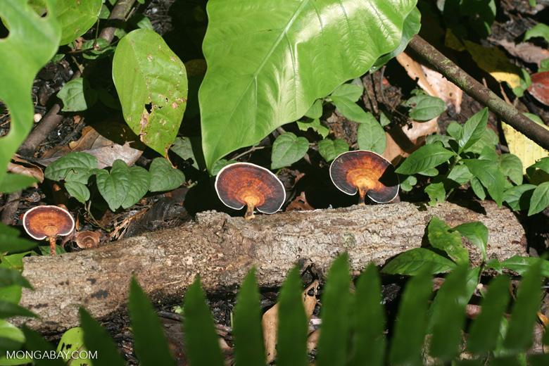 Black, white, and brown fungi -- borneo_6087