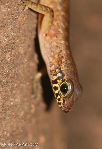 Bornean forest lizard