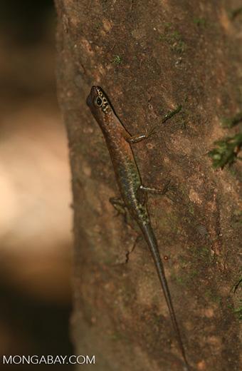 Bornean forest lizard -- borneo_6113