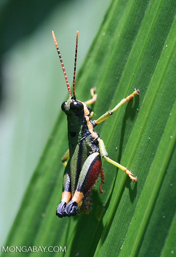 Multicolored grasshopper
