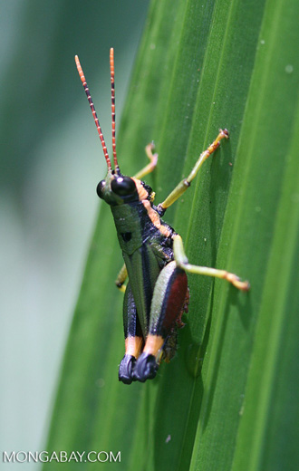 Multicolored grasshopper -- borneo_6135