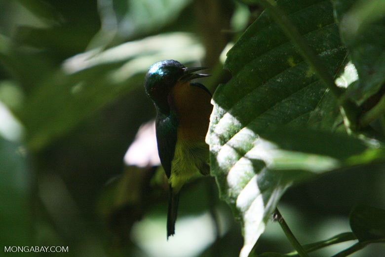 Sunbird -- borneo_6211