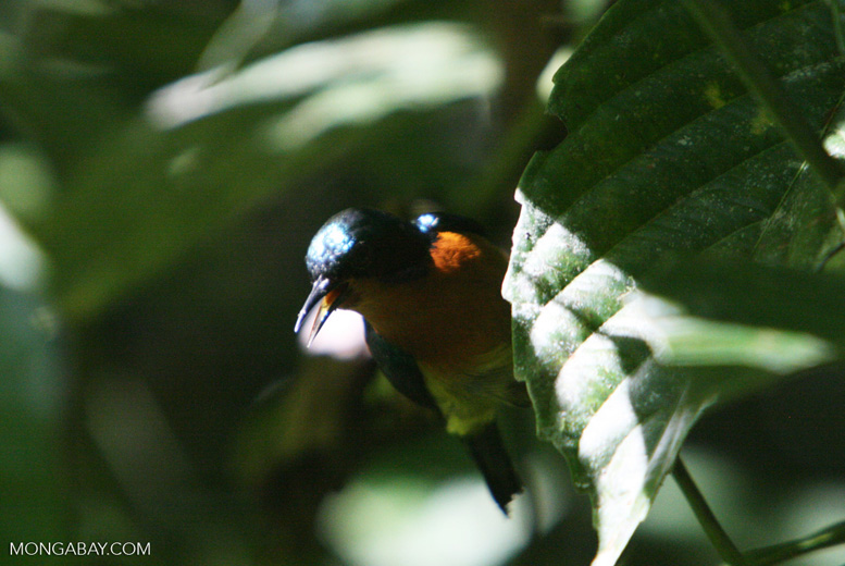 Sunbird -- borneo_6212