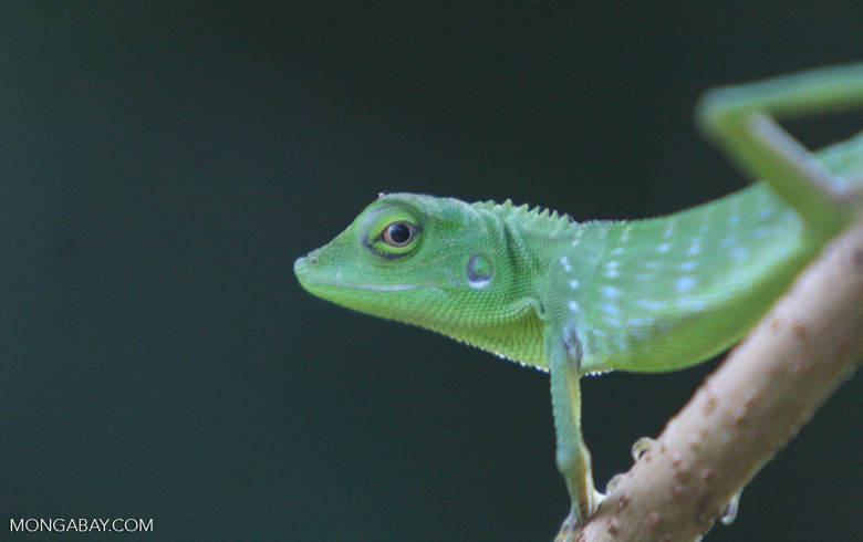Green Tree Dragon ( Bronchocela cristatella ) -- borneo_6228