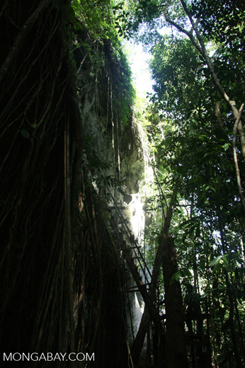 Ladder to the 'coffin cave' at Danum Valley