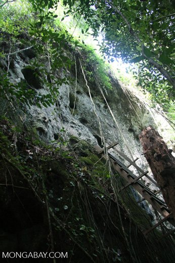 Ladder to the 'coffin cave' at Danum Valley -- borneo_6262