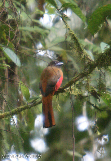Brown bird with a blue beak and a red chest