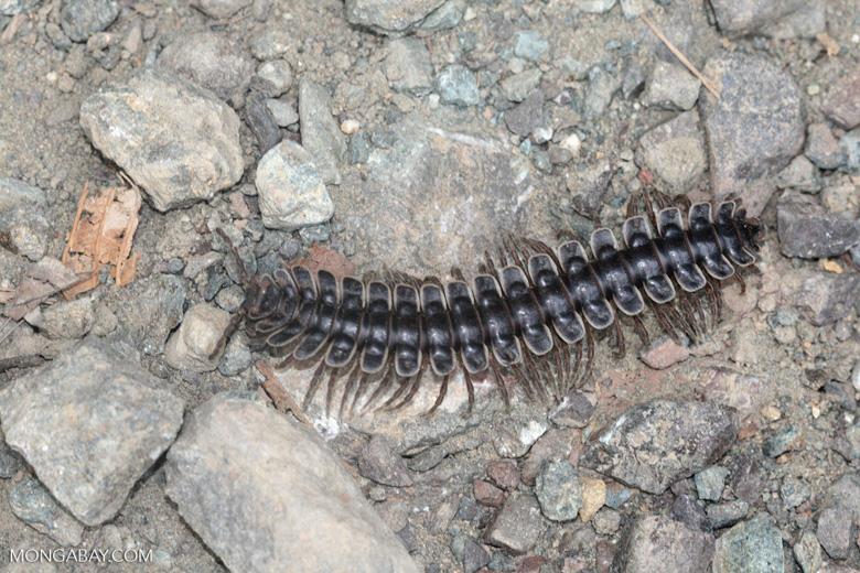 Tractor millipede -- borneo_6360