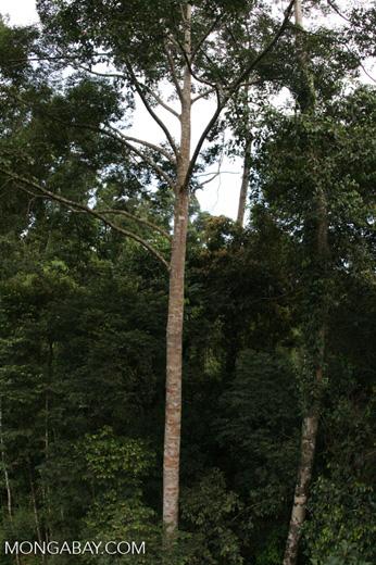Canopy tree -- borneo_6364