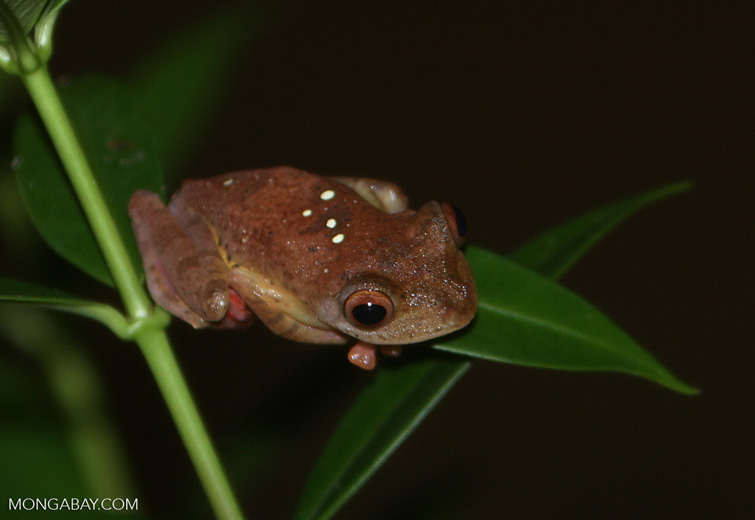 Tree frog with green spots