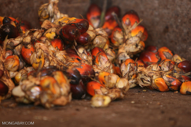 Oil palm fruits -- borneo_6474