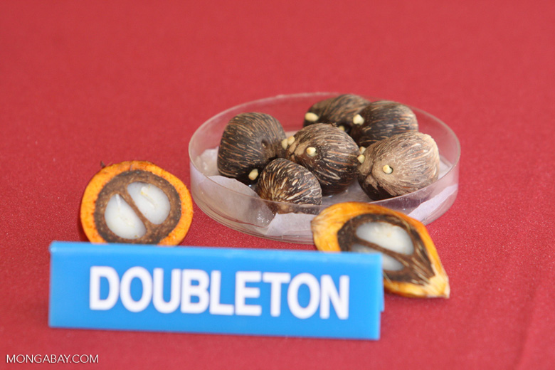 Doubleton dura oil palm fruit