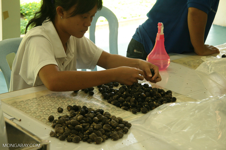 Oil palm fruit selection for breeding program to improve yields