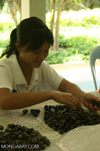 Oil palm fruit selection for breeding program to improve yields -- borneo_6481