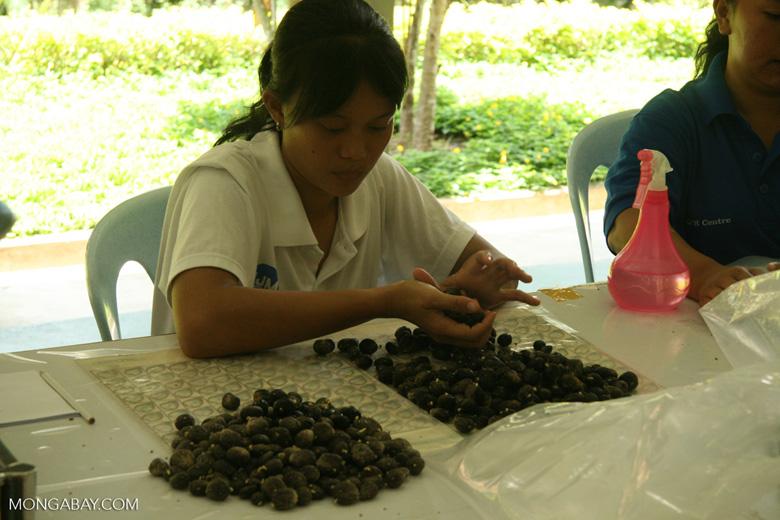 Oil palm fruit selection for breeding program to improve yields -- borneo_6482