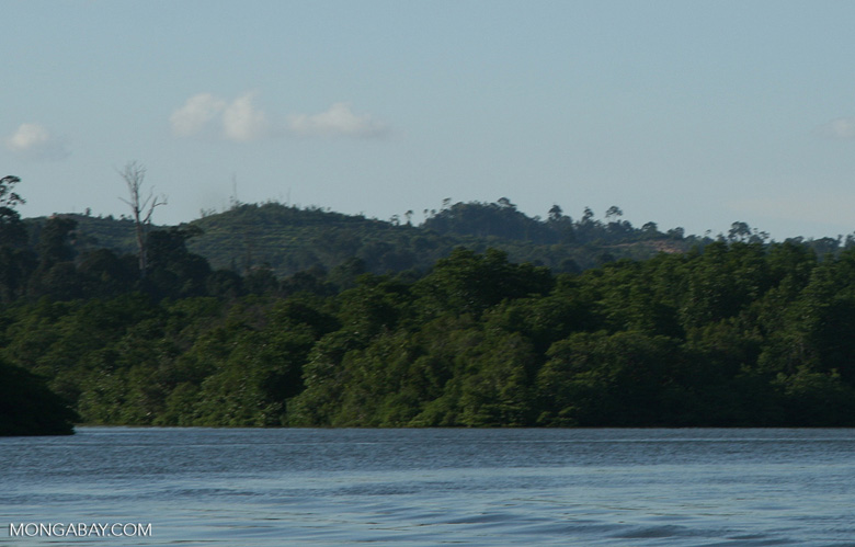 Oil palm plantation in a deforested area along the Sabang river -- borneo_6520