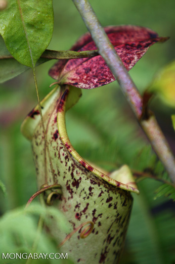 Slender pitcher plant (Nepenthes gracilis) -- borneo_6543