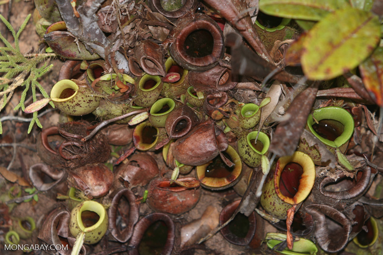 Nepenthes rafflesiana pitcher plant -- borneo_6555
