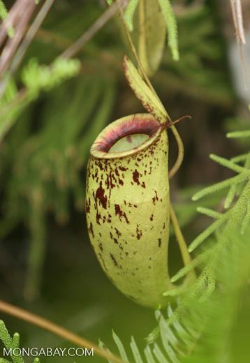 Nepenthes mirabilis -- borneo_6562