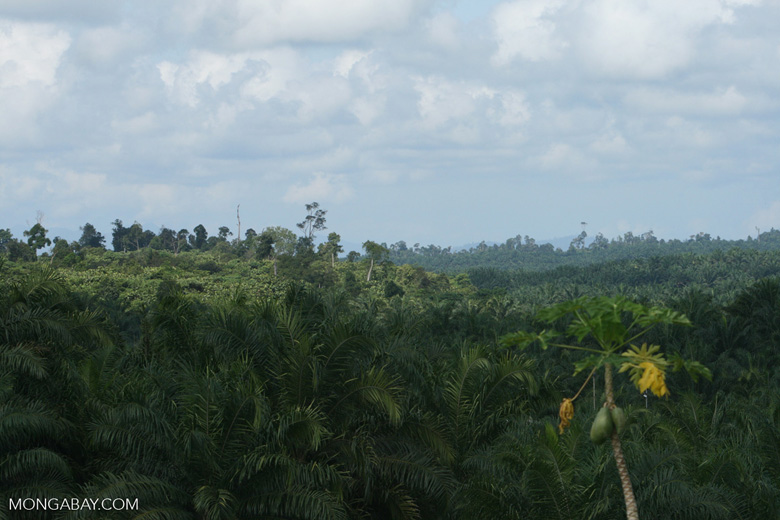 Oil palm plantation with forest on the horizon