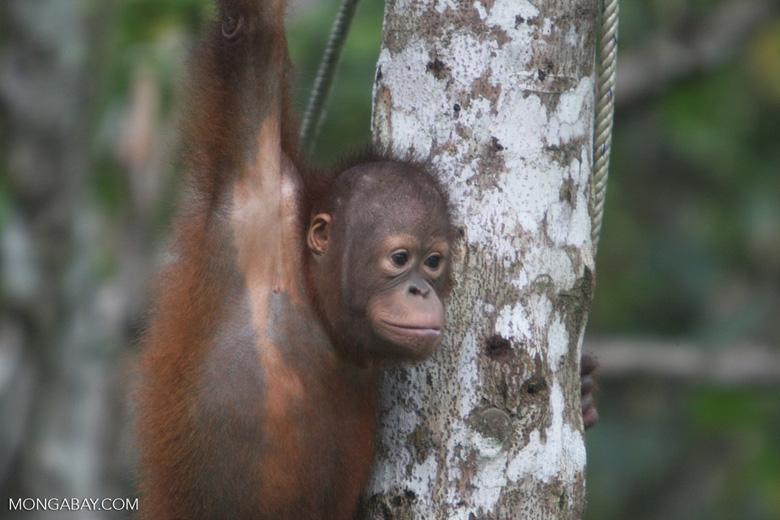 Young orphan orang-utan -- borneo_6593