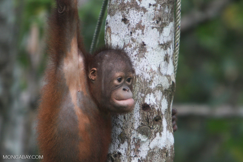 Young orphan orang-utan -- borneo_6594