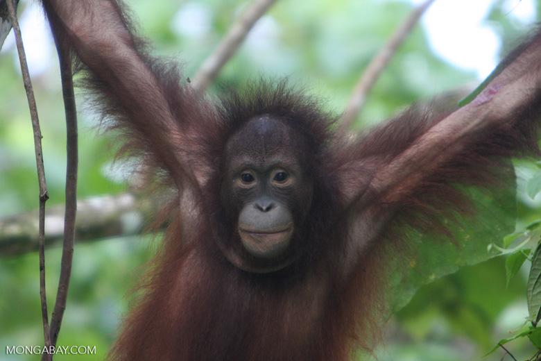 Young orphan orang-utan