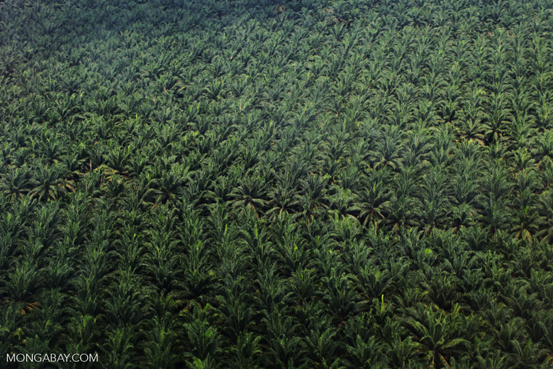 Oil palm estate in Malaysia